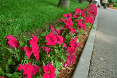 fuchsia: A string of fuchsia flower in a park