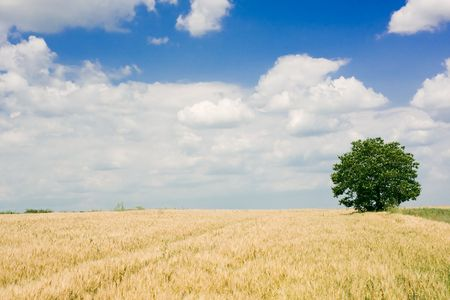 Wheat field and single tree landscape Stock Photo - 3851654