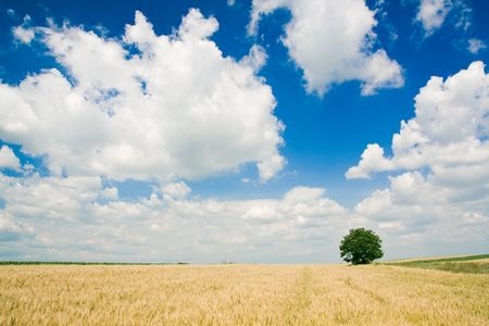 Wheat field and single tree landscape Stock Photo - 3904415