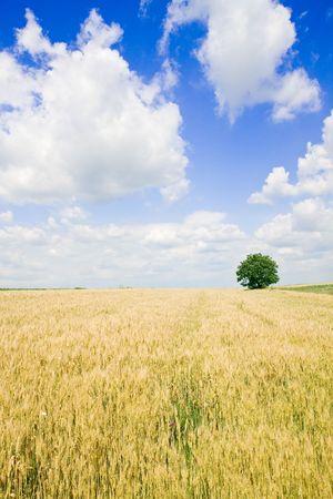 Wheat field and single tree landscape Stock Photo - 3904486