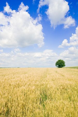 Wheat field and single tree landscape Stock Photo - 3904486