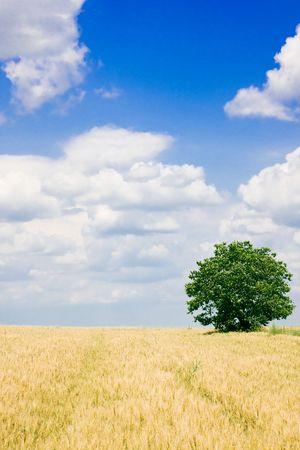 Wheat field and single tree landscape Stock Photo - 3904417