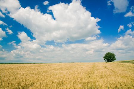 Wheat field and single tree landscape Stock Photo - 3904419