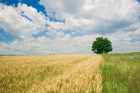 Single tree between a wheat field and a meadow Stock Photo - 3904485