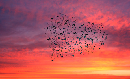 forming: Flock of birds forming a heart