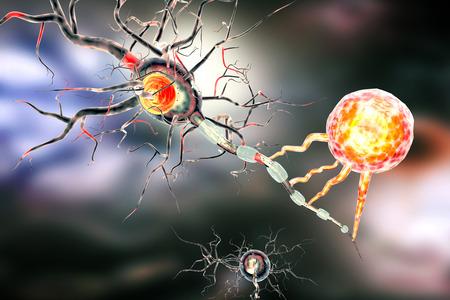 Stützgewebe des Nervensystems. Neuron-Struktur. Neuron, Astrozyten Gliazellen, Oligodendrozyten, Axon. Standard-Bild - 52078159