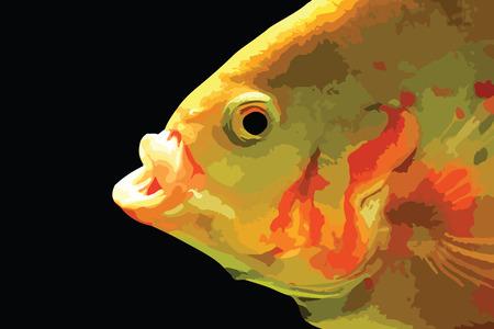 ocellatus: Predator fish hunting. Oscar fish (astronotus ocellatus).  eps10. Illustration