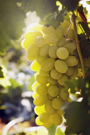 bunch of ripe grapes Фото со стока