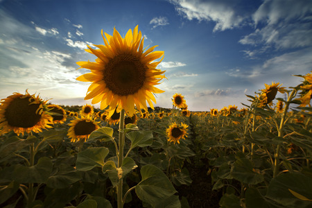 field of sunflowers blooming flower with a single dominant 版權商用圖片