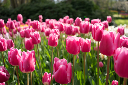 Beautiful colourful tulip flowers with beautiful background on a spring day Stock Photo