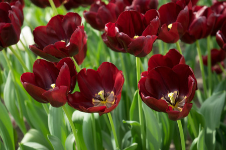 Dark Maroon tulip flowers in a garden in Lisse, Netherlands, Europe  on a bright summer day 版權商用圖片