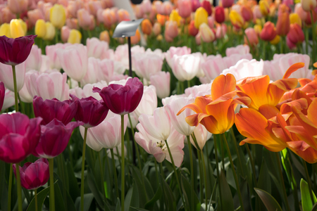 Bright colored tulip flowers in a garden in Lisse, Netherlands, Europe on a bright summer day Stock Photo