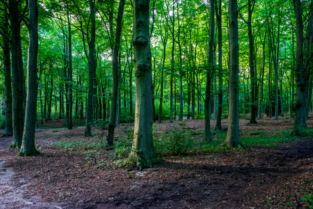 Sunlight through densely packed trees in Haagse Bos, forest in The Hague, Netherlands, Europe