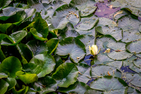 Lily in a pond at Haagse Bos, forest in The Hague, Netherlands, Europe