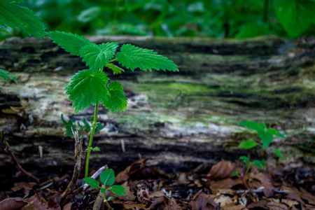 A green sampling in front of a log of wood in Haagse Bos, forest in The Hague, Netherlands, Europe