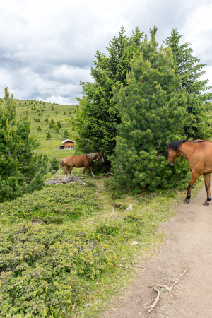Italy, Alpe di Siusi, Seiser Alm with Sassolungo Langkofel Dolomite, a herd of cattle walking down a dirt road