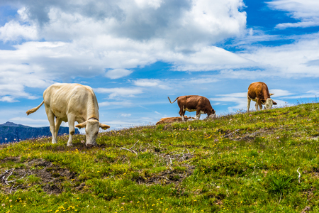 Italy, Alpe di Siusi, Seiser Alm with Sassolungo Langkofel Dolomite, a herd of cattle standing on top of a lush green field Imagens