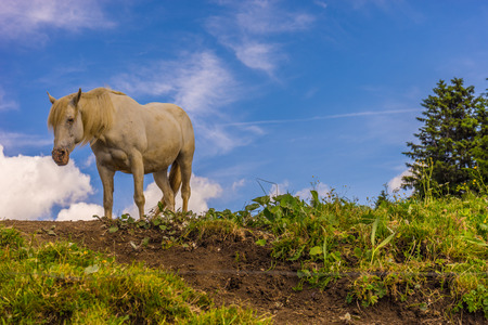 Alpe di Siusi, Seiser Alm with Sassolungo Langkofel Dolomite, a white horse standing on top of a lush green field