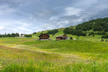 Italy, Alpe di Siusi, Seiser Alm with Sassolungo Langkofel Dolomite, a herd of cattle grazing on a lush green field