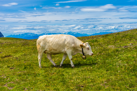 Italy, Alpe di Siusi, Seiser Alm with Sassolungo Langkofel Dolomite, a white cow standing on top of a lush green field