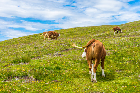 Italy, Alpe di Siusi, Seiser Alm with Sassolungo Langkofel Dolomite, a herd of cattle standing on top of a lush green field 스톡 콘텐츠