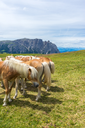 Alpe di Siusi, Seiser Alm with Sassolungo Langkofel Dolomite, a brown and white stallion horse standing on top of a lush green field