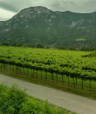 Europe, Italy, La Spezia to Kasltelruth train, a herd of sheep grazing on a lush green field 写真素材
