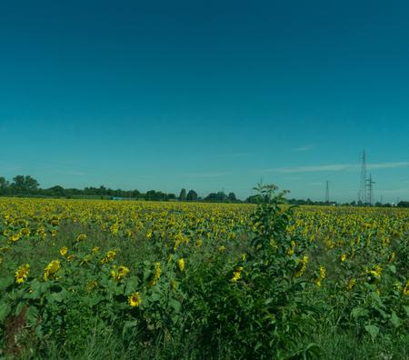 Italy,La Spezia to Kasltelruth train, a large sunflower field