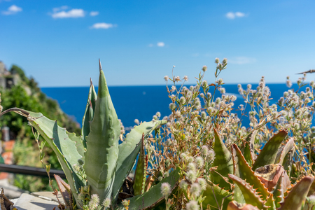 Europe, Italy, Cinque Terre, Vernazza, a close up of a plant