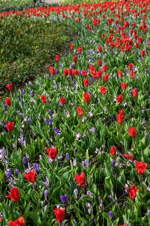 Flower garden, Netherlands, Europe, a red flower in a field
