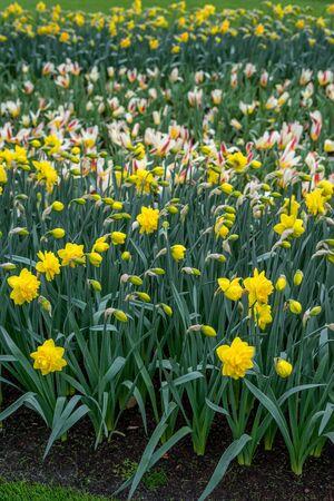 Flower garden, Netherlands, Europe, a yellow flower in a field