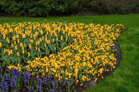 Flower garden, Netherlands, Europe, Keukenhof, a yellow flower in a field with Keukenhof in the background