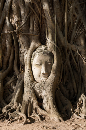 head in the sand: Head of sand stone buddha entwined with the roots. Wat Mahathat
