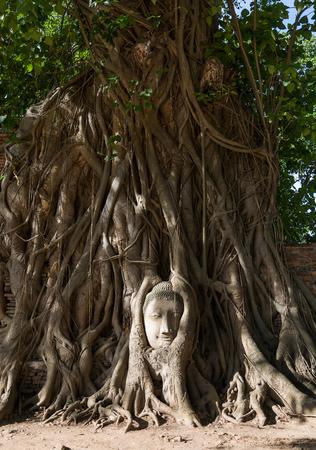 cabeza de buda: Head of sand stone buddha in the tree roots. Wat Mahathat. Thailand