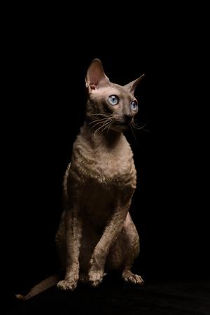 cornish rex: Cornish Rex cat with blue eyes sitting on table on black background. Short-haired. Studio