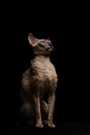 prideful: Cornish Rex cat with blue eyes sitting on black background. Beautiful. Short-haired. Studio
