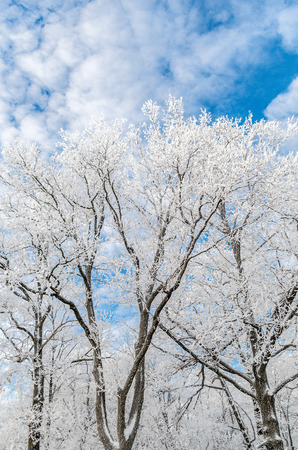 clear day in winter time: Frosted trees at sunny winter day Stock Photo