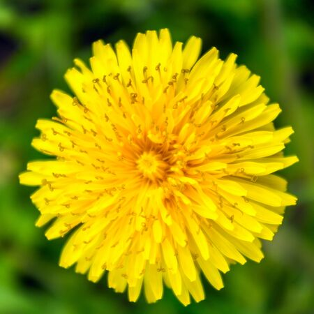 close up view: Top of dandelion flower, close up view