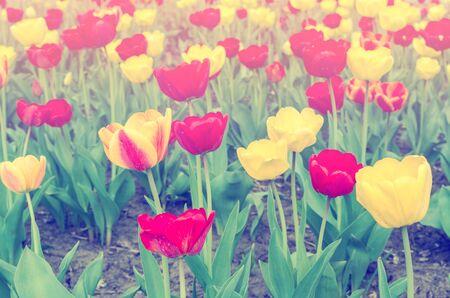 haze: Tulips in haze on field