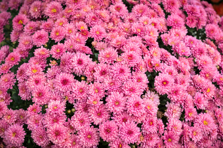 Beautiful flowers of chrysanthemums close up view Stock Photo