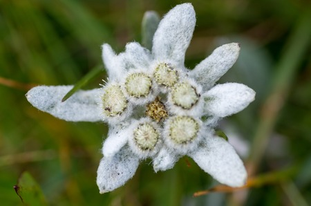 A close up of the flower edelweiss (Leontopodium pallibinianum). Protected mountain plant, rare flower. Stock fotó