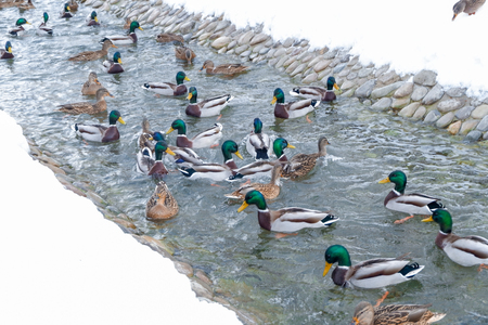 Ducks in the winter looking for food. Feed the ducks. Duck flock, waiting for food, almost all look at the shore, hoping to get the desired