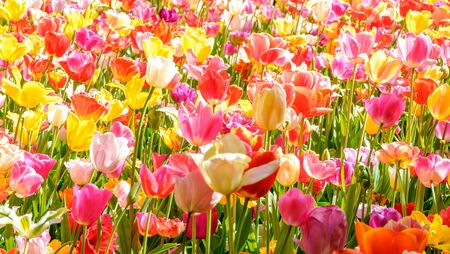 Blooming tulips flowerbed in flower garden Keukenhof, colourful background, Holland