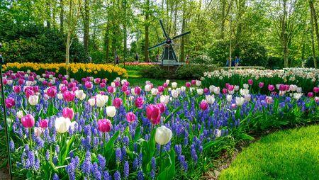 Blooming tulips flowerbed in flower garden Keukenhof, colourful background, Holland 写真素材