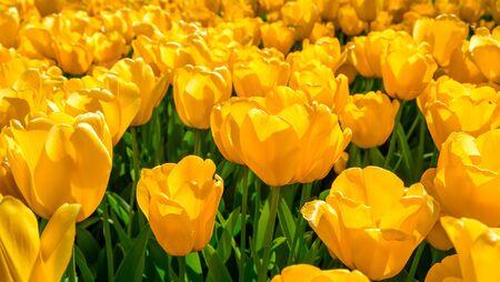 Flores de tulipanes en el jardín de flores, colores de fondo, Países Bajos. Foto de archivo