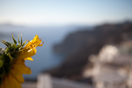 A flower of a sunflower against the background of the washed out island of Santorini in Greece.