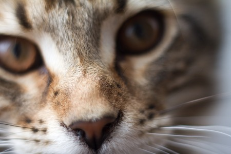 Extremely closeup portrait of domestic tricolor tabby Maine Coon kitten few months old. Closeup photo of striped kitty looking away.