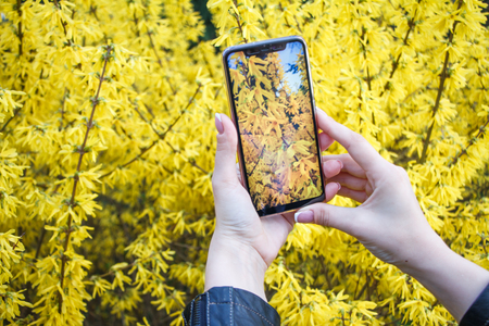 Close-up of girls hands holding smartphone and taking pictures of a blooming forsythia, spring concept