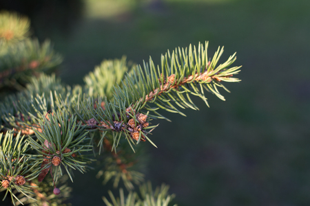 Green spruce branches, new shoots and needles on the background of nature, soft focus Imagens