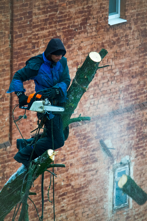 A man with a chainsaw does pruning a tree, cuts off large branches.